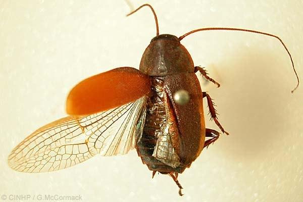 Gián cảnh Diploptera punctata có kích thước nhỏ, màu nâu đỏ và cực nhanh nhẹn.