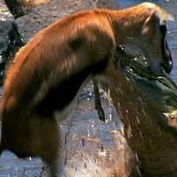 """Video: Cận cảnh cá sấu chúa khổng lồ """"xẻ thịt"""" Kangaroo nát tươm"""