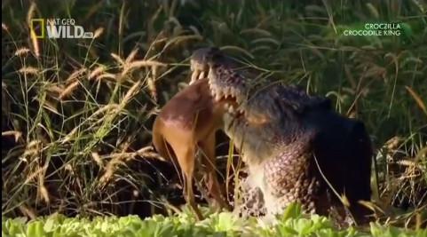 Số phận con mồi khi rơi vào hàm cá sấu khổng lồ miền bắc Úc hoàn toàn bị định đoạt.