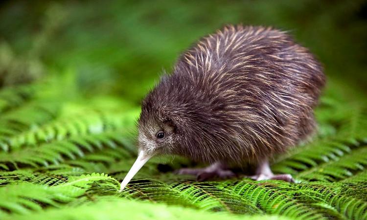 Động thái này của New Zealand là để ngăn chặn sự biến mất của chim kiwi và vẹt ở địa phương.