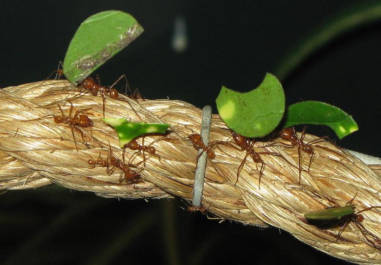 Sự xuất hiện của kiến cắt lá dẫn tới mô hình nuôi nấm dưới mặt đất.