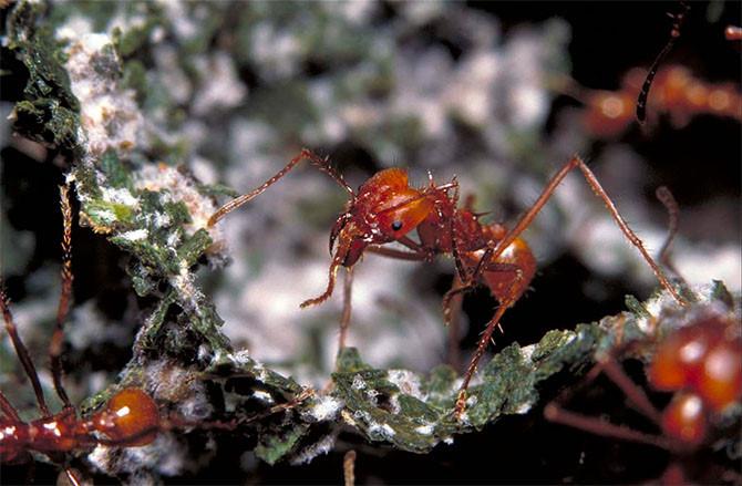 Loài kiến đã biết nuôi nấm từ hàng chục triệu năm trước.