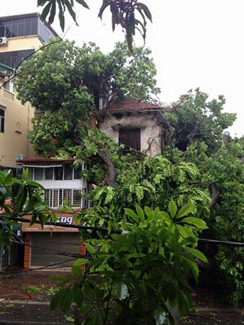 Cây xà cừ cổ thụ bật gốc đổ vào nhà dân ở phố Ngô Thì Nhậm.