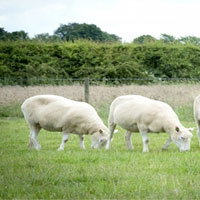 Hé lộ số phận của 4 con cừu Dolly nhân bản vô tính