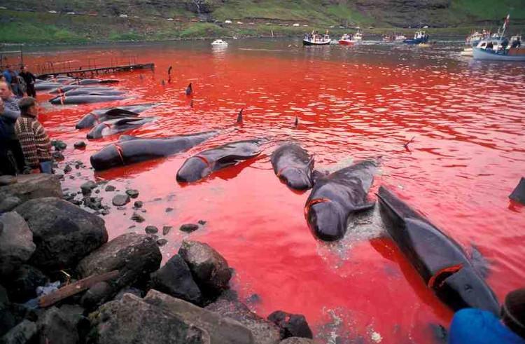 Cả vùng biển chuyển đỏ thành màu máu cá voi.
