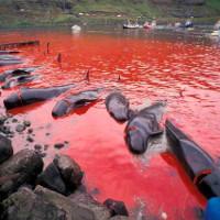 Bờ biển nhuốm màu đỏ máu sau vụ thảm sát cá voi hoa tiêu gây phẫn nộ toàn châu Âu