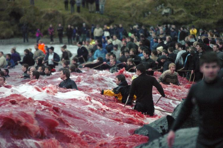 Việc săn cá voi bị nghiêm cấm ở châu Âu và Đan Mạch
