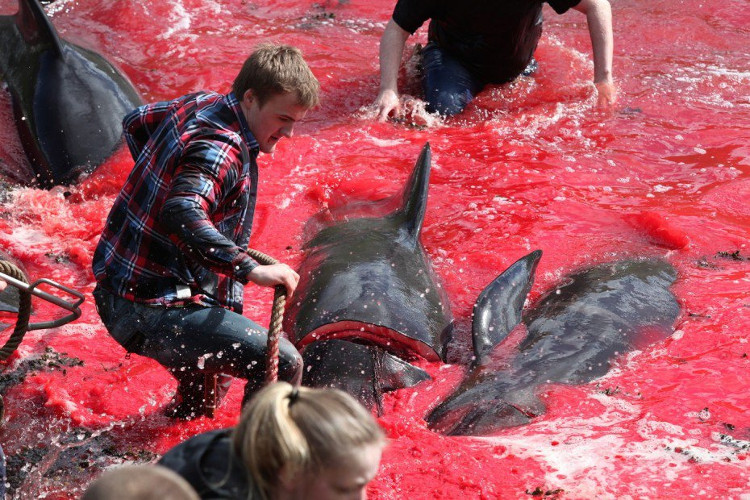 Cá voi hoa tiêu cũng có cảm xúc khi họ từng chứng kiến những con cá voi khóc trên bở biền khi bị mắc cạn.