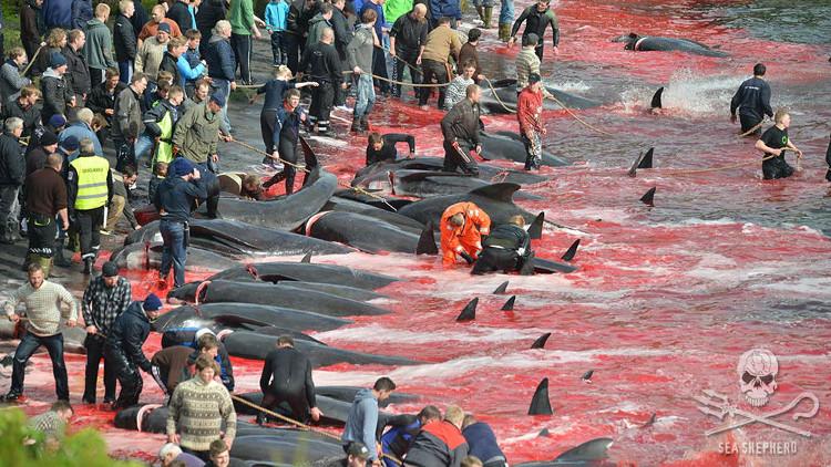 Chỉ sau khoảng 2 giờ, những người thợ săn đã tìm cách đưa được lũ cá voi vào bờ và 120 chú cá voi đã bị giết hại.