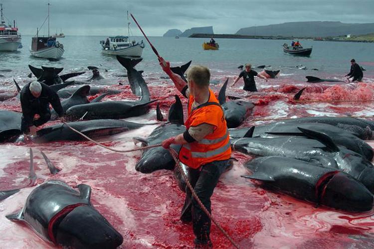 Một số hình ảnh được ghi nhận trong những mùa săn bắt cá voi trước đây.