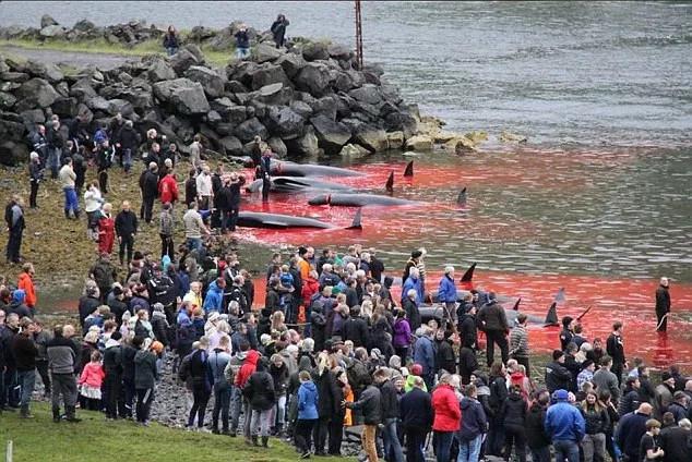 Hàng trăm người dân trên đảo Faroe có mặt tại bờ biển để chứng kiến cảnh cá voi bị tàn sát.