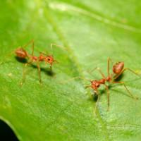 Anh: Phát hiện ra loài kiến có khả năng gây cháy nhà
