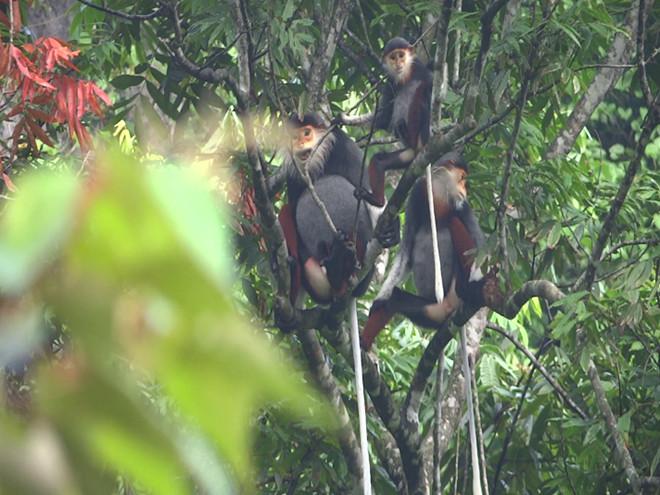 Loài vượn đen má trắng siki được phát hiện có hàng trăm cá thể ở rừng Động Châu-Khe nước Trong.