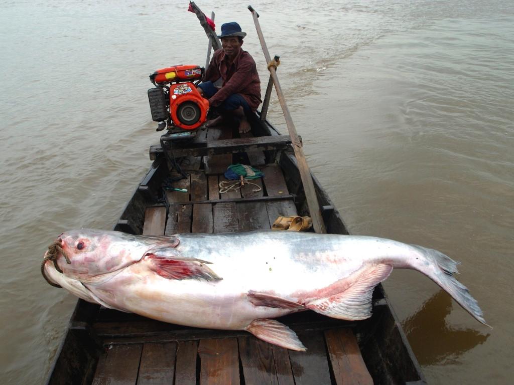 Do nạn săn bắt quá mức, loài cá chỉ tồn tại theo đàn nhỏ ở vùng trung tâm sông Me Kong.