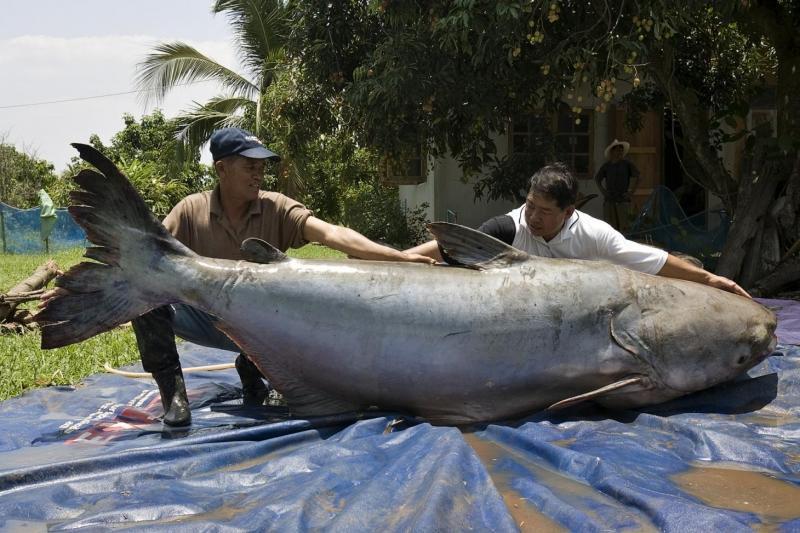 Cá da trơn khổng lồ sông Mê Kông nằm trong số những loài cá nước ngọt lớn nhất thế giới.