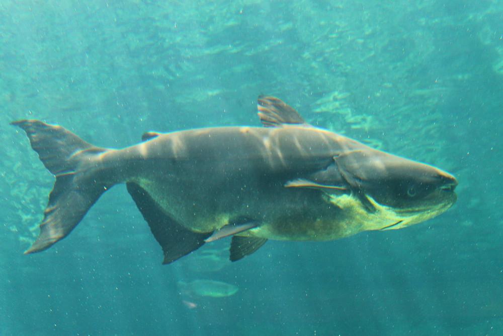 Thức ăn của loài cá này khá kỳ lạ. Vào những năm đầu đời, chúng chỉ ăn các sinh vật phù du.