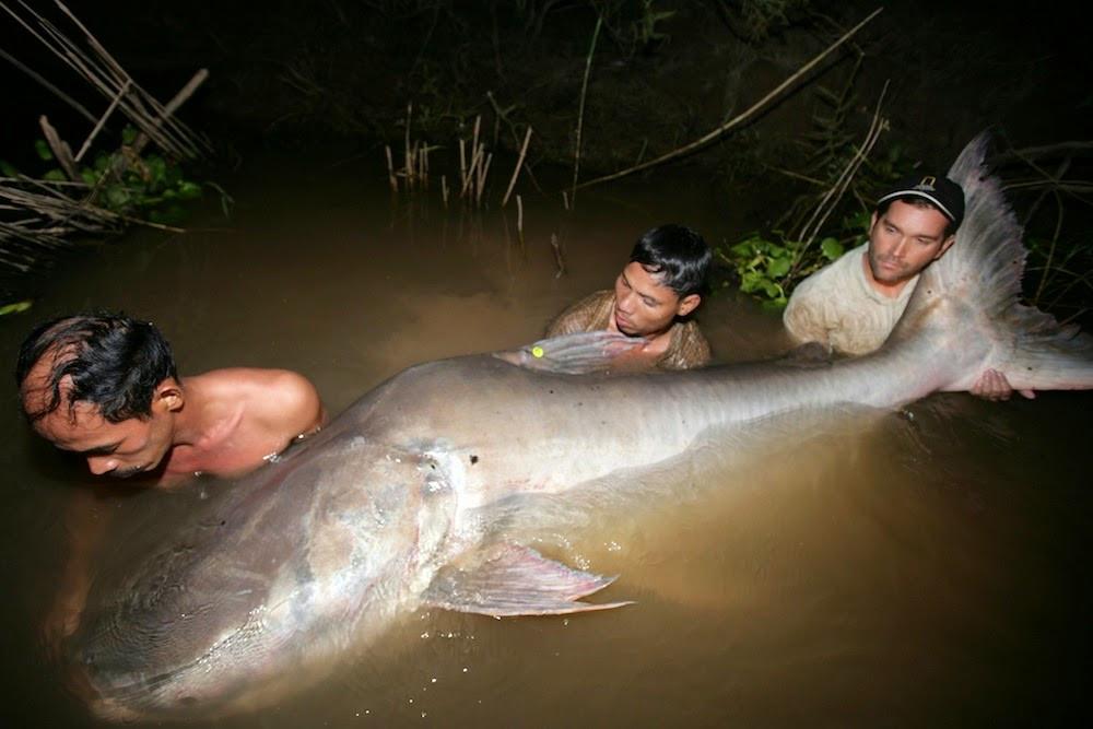 Cá da trơn khổng lồ sông Mê Kông đang đứng trước nguy cơ tuyệt chủng do tình trạng săn bắt quá mức.