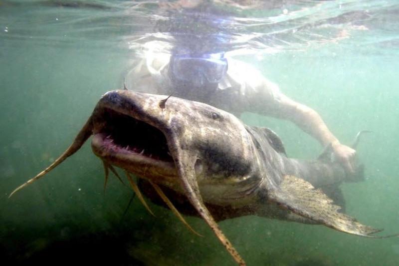 Cá da trơn khổng lồ sông Mê Kông là loài cá rất lớn thường được tìm thấy xung quanh lưu vực sông Mê Kông ở Đông Nam Á