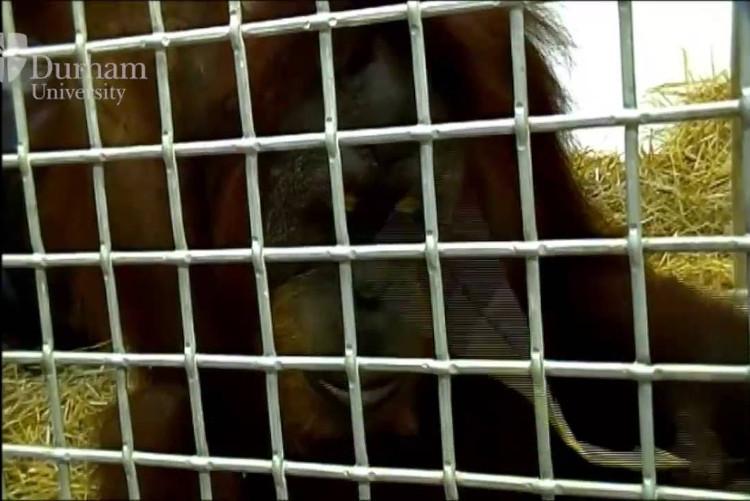 Chú đười ươi sống ở vườn thú Indianapolis này đã bắt chước được các cao độ, giọng điệu của huấn luyện viên của mình khi họ giao tiếp với nó.