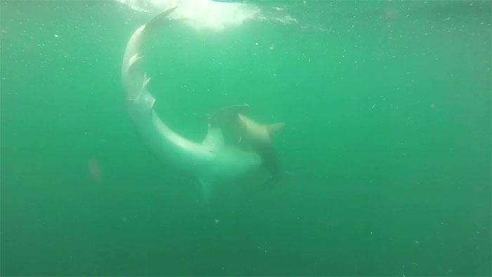 Sau một hồi chiến đấu kịch liệt, cá mập đầu búa đã bị cá mập hổ làm thịt.