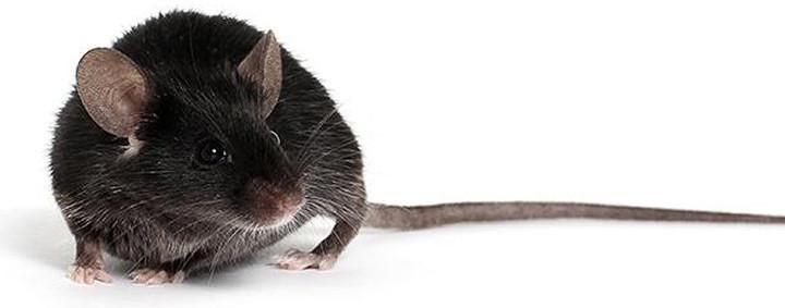 Thử nghiệm trên chuột cho kết quả rất khả quan.