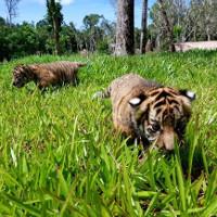 Hai cặp hổ con Bengal ra đời tại Vinpearl Safari Phú Quốc