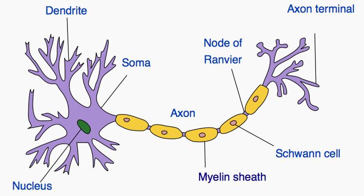 Neuron nhân tạo này cũng giống với neuron sinh học.
