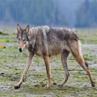 Hé lộ về loài sói hiếm biết bơi, ăn hải sản