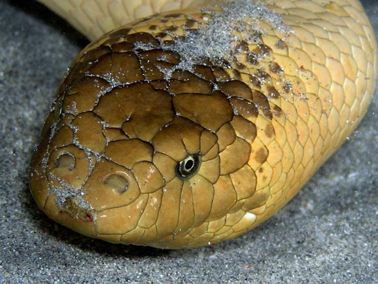 Khác với cái đuôi dẹt dùng để lái khi bơi, đầu của rắn biển Olive lại tròn và mập hơn nhiều loài rắn khác.