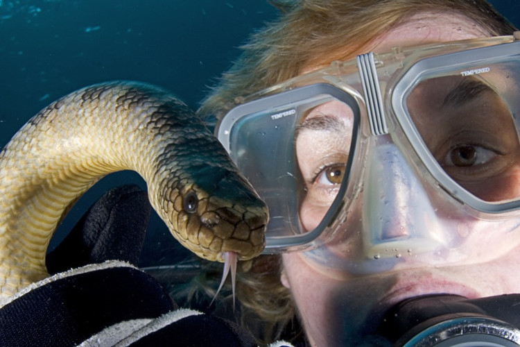 Rắn biển Olive có thể tấn công con người khi ngoi lên mặt nước lấy không khí.