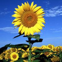 Đã tìm ra lý do hoa hướng dương hướng về phía mặt trời