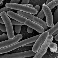 """""""Tái lập trình"""" vi khuẩn E.Coli để chống lại... ung thư"""