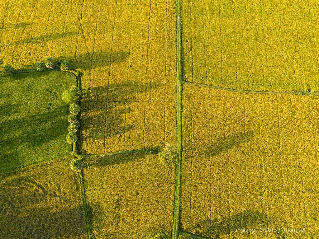 Một cánh đồng lúa vàng thuộc tỉnh An Giang.
