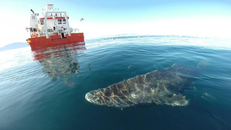 Một con cá mập Greenland bơi gần mặt nước.