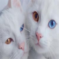 Cặp mèo song sinh hai màu mắt gây sốt trên mạng xã hội