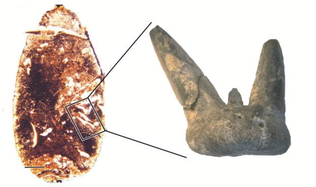 Một chiếc răng ba mấu của cá mập non tìm thấy trong mẫu phân hóa thạch.
