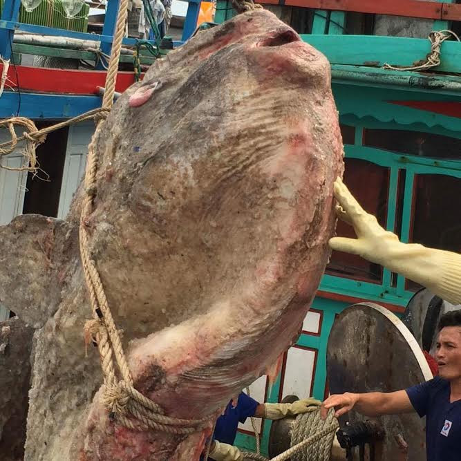 Con cá mặt trăng nặng gần 1 tấn mà ngư dân ở nghệ an bắt được.