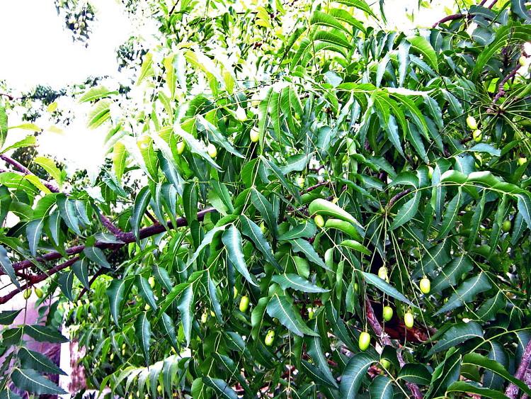 Cây xoan xuất hiện khá phổ biến ở Việt Nam.