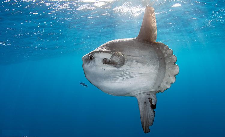 Cá mặt trăng là một trong những loài cá đẻ nhiều trứng nhất trong các loài cá ở đại dương.