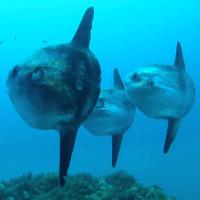 Cá mặt trăng - Loài cá quý hiếm trong sách đỏ Việt Nam