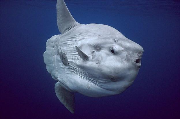 Hầu hết cuộc đời cá mặt trăng sống cách xa đất liền.