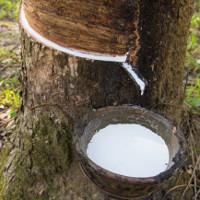 Nghiên cứu mới hé lộ phương pháp làm tăng sản lượng mủ cao su