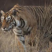 Nữ hoàng hổ nổi tiếng nhất Ấn Độ qua đời