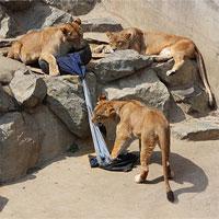 Nhật Bản dùng sư tử để làm quần jeans rách
