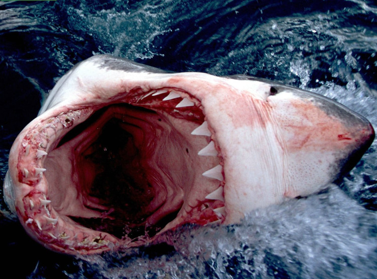 Từ lâu, chúng ta đã biết đến cá mập như một loài vật hung tợn.