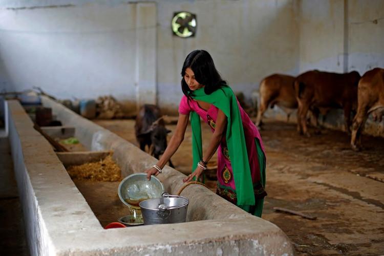 Susheela Kumari làm công việc hứng nước tiểu bò trong trang trại ở thành phố Bulandshahr, bang Uttar Pradesh, Ấn Độ.