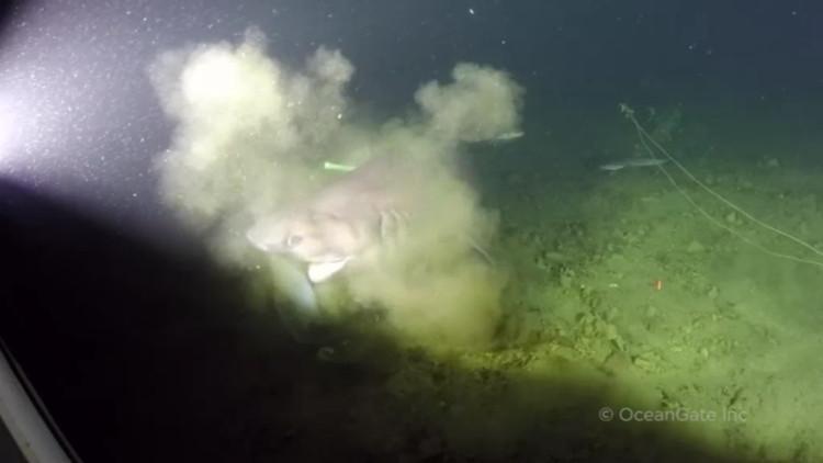 Điểm đặc biệt là con cá mập có 6 mang mỗi bên.