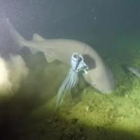 Bắt gặp cá mập 6 mang có nguồn gốc trước thời khủng long