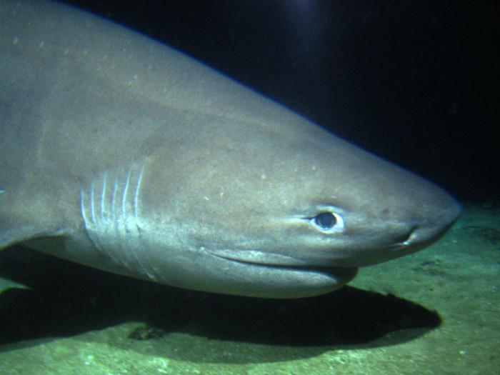 Cá mập 6 mang là một loài động vật cổ xưa và xuất hiện từ trước khi khủng long ngự trị Trái Đất.