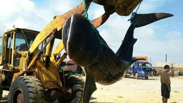 Ngư dân dùng máy xúc đưa xác con cá mập về viện hải dương học làm tiêu bản.